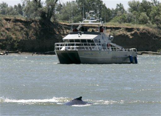 Whales in SacramentoRiver