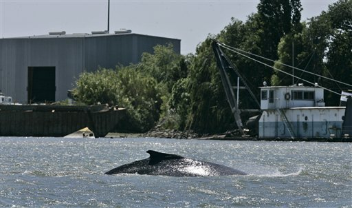 Whales in Sacramento River