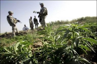 Afghan marijuanafield