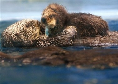 Mom and baby seaotters