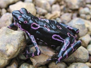 purple frog of the genus Atelopus
